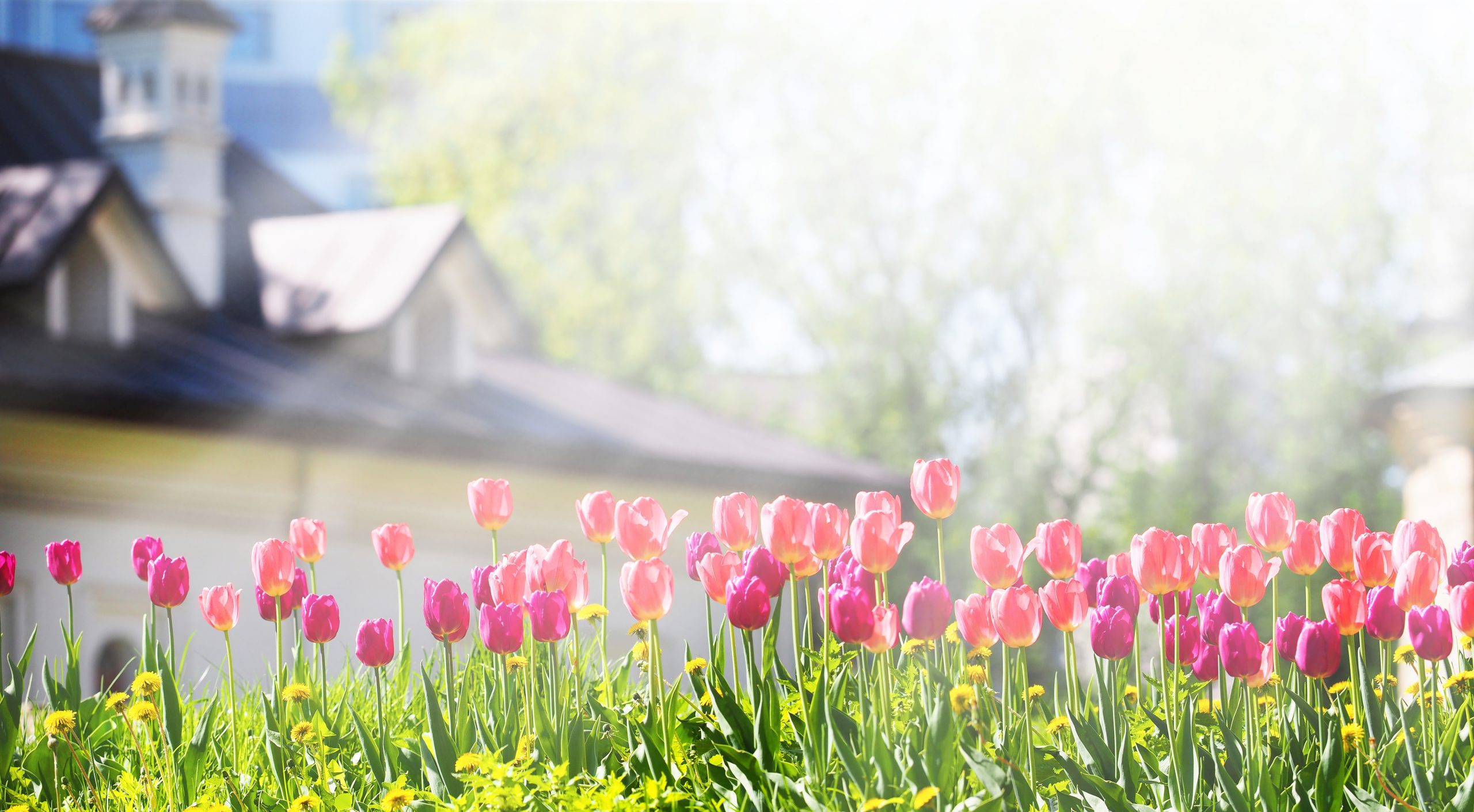 A flower bed with pink and purple tulips in the rays of sunlight against the backdrop of a beautiful white house with a sloping roof. Gardening, panoramic view